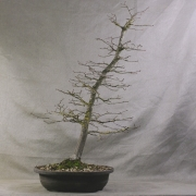 cbb01---carpinus-betulus-bonsai-01