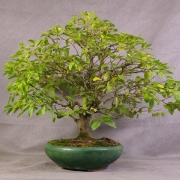 lv01---ligustrum-bonsai-01